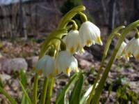 Белоцветник весенний Leucojum vernum|escape:'html'