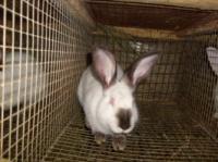 Кролики породы Калифорнийская|escape:'html'