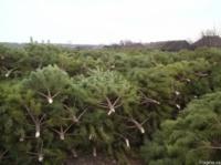 Живые сосны оптом напрямую из леса|escape:'html'