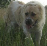 Аренда охранной собаки.|escape:'html'