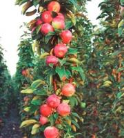 Саженец яблони колоновидной Валюта escape:'html'