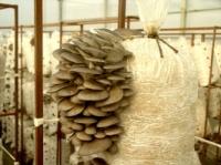 Сушеные грибы Вешенка / оптом|escape:'html'