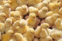 Инкубационная станция реализует суточные и подрощенные цыплята и утята|escape:'html'