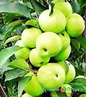 Саженец яблони колоновидной МЕДОК|escape:'html'