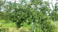 Обрізка плодових дерев, обробка проти шкідників, підживлення!