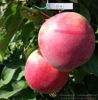 Саженец яблони колоновидной Трайдент|escape:'html'