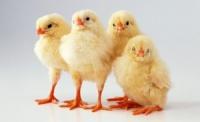 Цыплята суточные, подросщенные кур бройлеров кросс «КОББ 500», Куры живым весом. escape:'html'