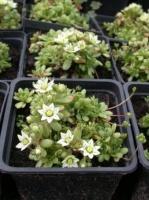 Розулярия 'Alba' Rosularia sedoides (Sempervivella alba) escape:'html'
