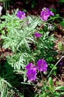 Герань клубненосная Geranium tuberosum escape:'html'