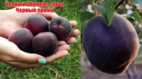 Саженцы абрикоса Черный принц escape:'html'