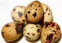 Перепелиные инкубационные яйца белого Техасскго бройлера escape:'html'