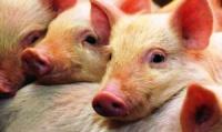 Вирощування та реалізація свинини. escape:'html'