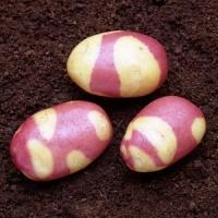 Семенной картофеля Бикини|escape:'html'