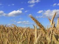 Пшеница 2 кл. (СРТ, Николаев порт)