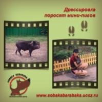 Дрессировка свиней|escape:'html'