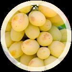 Технический виноград «Алиготе»