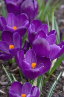 Крокус крупноцветковый Флаве Рекорд, 2шт/Crocus vernus Flower Record