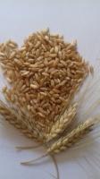 Пшениця твердих сортів органічна (Пшеница органическая)