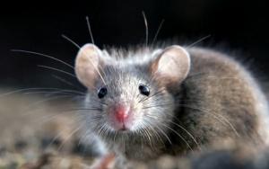 Уничтожаем мышей в Днепропетровске