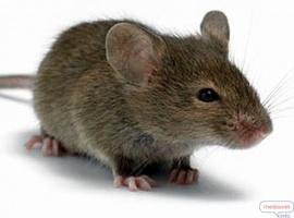 Уничтожение крыс в Каменском (Днепродзержинск)