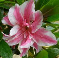 Азалия японская /рододендрон Мелле 3х летняя (Rhododendron / Azalea japonica Melle)