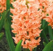 Гиацинт Джипси Квин/Hyacinthus Gipsy Queen, 16/17