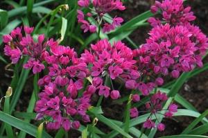Аллиум, лук горолюбивый, 2шт/Allium Oreophilum
