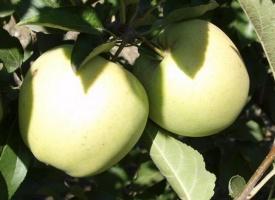 Яблоня Пепинка литовская
