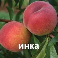 Купить саженцы персика Инка