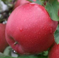Яблоня Мекинтош