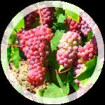 Технический виноград «Траминер Розовый»