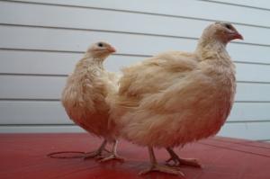 Инкубационное яйцо (Техасский альбинос)
