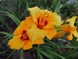Лилейник оранжевый с бордовой серединой