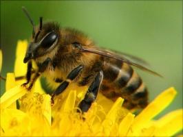 Подмор (мертвые пчелы)