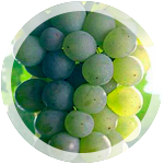 Технический виноград «Сильванер»