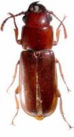 ПАРАНДРА КАСПИЙСКАЯ (Parandra caspia)