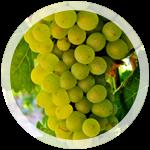 Технический виноград «Пино Блан»