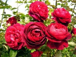 Роза Leonard Dudley Braithwaite/Л.Д.Брайтвейт