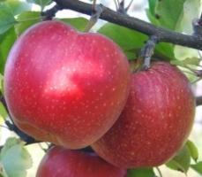 Яблоня Джонаред