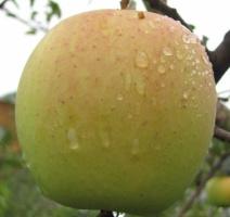 купить Украина Саженцы яблони «Голден делишес»