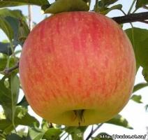саженцы яблони«чемпион»
