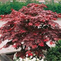 Клен веерный/пальмолистный Атропурпуреум, Acer palmatum 2х летний