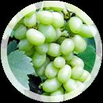 Столовый виноград «Флора»