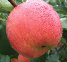 Яблоня Росавка