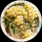 Технический виноград «Мускат Оттонель»