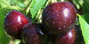 Купить саженцы вишни Шалунья