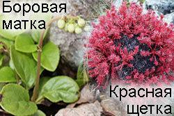 Женский сбор с боровой маткой и красной щеткой.100 г