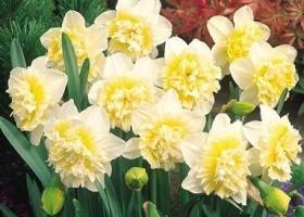 Нарцисс Айс Кинг/Narcissus Ice King, луковицы
