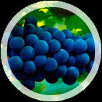 Технический виноград «Каберне»