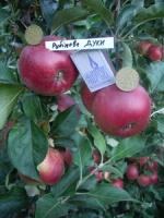 Яблоня Рубиновые дуки